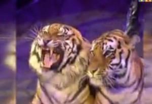 В клетке с тиграми